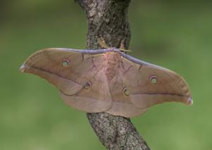 Antheraea pernyi, mariposa