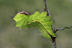 Antheraea pernyi, oruga