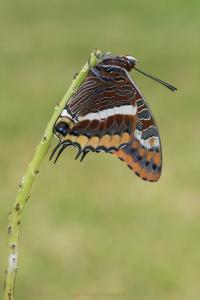 Charaxes jasius, mariposa