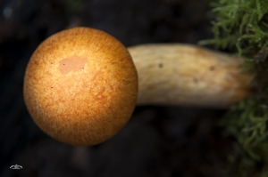 Pholiota spetabilis